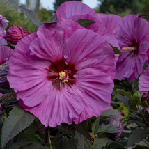 """bush hibiscus BERRY AWESOME hardy pink perennial 2.5"""" pot = 1 Live Potte... - ₹2,415.05 INR"""