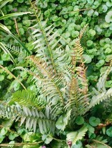 lady fern 1000 SPORES (seeds) filex femina, cold hardy, large, up to 3' ... - $10.69