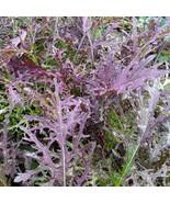 2000+ or 7 grams of Red Streaks Mizuna Japanese mustard green seeds - $14.00