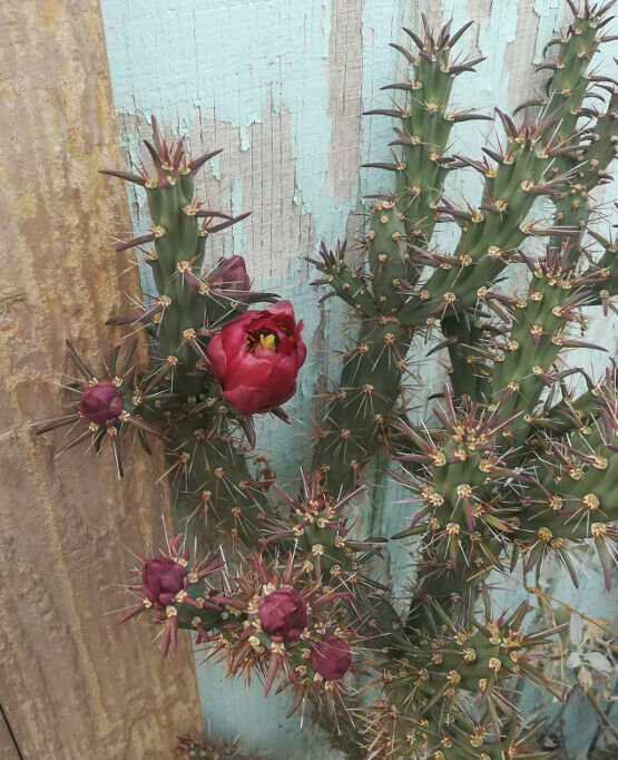 Cylindropuntia versicolor Deep Red Flowers Cholla Cactus 1 Section