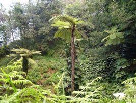 "Australian tree fern - Cyathea cooperi - 4"" Pot - $33.79"