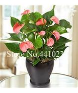 120pcs mixed Bonsai Rainbow Anthurium Andraeanum Linden Araceae Perennia... - $6.35