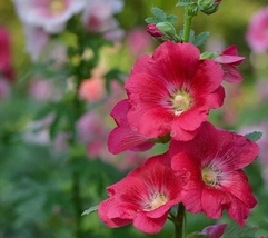 1000pcs Very Admirable Hollyhock Indian Spring Fresh Seeds #TLM1 - $20.99