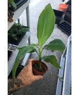 Pisang Raja Banana Plant - AKA Grindy Banana -Live Banana Plant - $19.77
