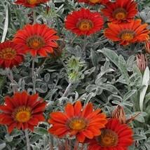 SHIP FROM US 40 Gazania Kiss Frosty Red Flower Seeds (Gazania Rigens), UTS04 - $35.98