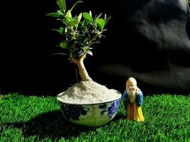 Miniature Olive tree Bonsai - Special plant - $70.38