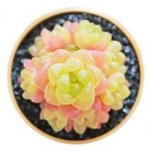 10PCS Haworthia cymbiformis var.obtusa Seeds Golden Pink Hybrid Succulen... - $17.29