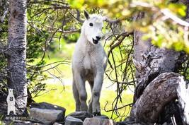 Baby Animals, Mountain Goat, Wildlife Photography, Nature Photo Print - $30.00+
