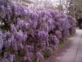 Purple Wisteria image 2