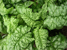 4 Variety Seeds - Bloomsdale Long Standing Spinach Seeds #IMA41 - $12.99+