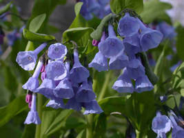 Virginia Blue Bell 5 roots native wild flower, shade lover image 1