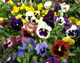 100 Seeds - Pansy Seeds St. Ravel Mix (wb) - $12.95