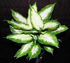 "Houseplant 6"" Dieffenbachia Camille Tropical Shipped Inside Pot Gorgeous Large - $77.99"