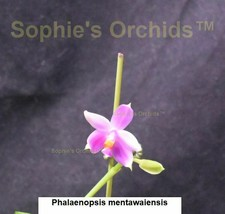 Phalaenopsis mentawaiensis Bare Root Frag T294 - $38.85