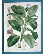 INDIAN RUBBER PLANT Urostigma Elasticum - Beautiful COLOR Botanical Print - $28.69