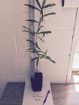 Willow Oak-(quercus phellos) image 3