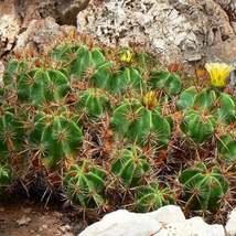 20 Seeds Clustering Barrel Cactus Seeds Ferocactus Robustus Seed - $18.43