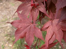 21 pcs/pkt Oregon Sunset Japanese Maple dry seed Tree Seeds For Planting - $32.67