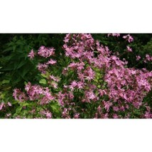 Ragged Robin Pink Purplish Lychnis Flower 100 Seeds #SFB11 - $18.17