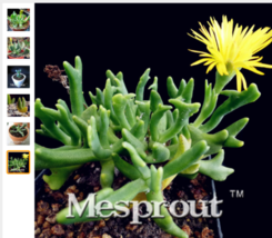 Graines rares Rhombophyllum Nelii 100 plantes Rhombophyllum plantes succ... - $3.68