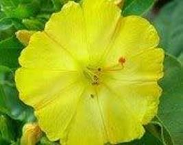 Four O'clock Golden, 50 Seeds Beautiful Vivid Golden/Yellow Colored Bloom - $5.99