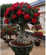 Red Desert Rose - LIVE PLANT Adenium Obesum BONSAI TROPICAL - $13.81