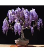 Purple Chinese Wisteria sinensis 5 seeds ez grow bonsai Fragrant CombSH J11 - $13.58