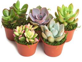 Shop Succulents Real Live Succulents/Unique Indoor Cactus Decor/Terrariu... - $31.45