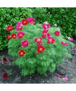 20 Seeds Tenuifolia Peony Seeds,Double Flowering Fernleaf Peony Rubra Plena - ₹418.40 INR