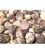 Plicata Nerita Seashells Mix Shells Wedding Crafts Vase Filler Small Conch - $5.99