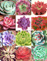 COLOR ECHEVERIA mix, rare exotic succulent HEN & CHICKS seed flowering -... - $6.79