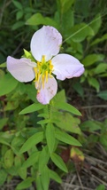 Organic Native Plant, Maryland Meadow Beauty, Rhexia mariana, Bog plant - $3.50