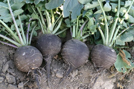 SHIPPED FROM US 100 Black Spanish Round Radish Vegetable Seeds, GS04 - $11.00