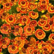 Sneezeweed autumnale 02 thumb200