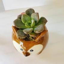 "Ceramic Animal Planter & Live Succulent 2"" Kangaroo Pot Echeveria Green Burgundy image 2"