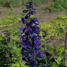 SHIP FROM US 100 Delphinium Black Knight Flower Seeds (Cultorum), UTS04 - $19.98