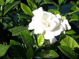 "6"" Gardenia Bush Cape Jasmine White Flowers Shrub Rooted Cuttings 2 Live... - $55.99"