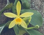 Vanilla planifolia Well Rooted Species Orchid Plant Vanda Blooming Size 0211 - £16.47 GBP