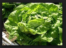 SHIPPED From US,PREMIUM SEED:160 Particles of LETTUCE Buttercrunch,HandP... - $20.99