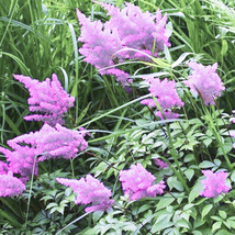 100Pcs Shallow Purple Astilbe Chinensis Seeds Plants Chinese Astilbe Flo... - $4.76