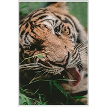 Young Tiger Close Up Wall Art Poster - $12.38