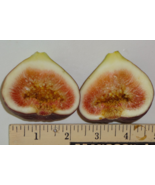 2 Cuttings of Texas Blue Giant Fig, Large Tasty Fig Zone 6 to 11 - $14.73