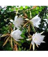 "HS Garden -100 pcs Nopalxochia Epiphyllum ""Anguliger"" Bonsai Orchid Cact... - $2.45"