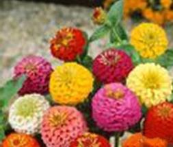 2 Variety Very Cute Zinnia Lilliput Mixture Fresh Seeds #TLM1 - $18.99+