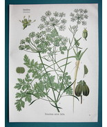 PARLSEY Medicinal Plant Petroselinum Sativum - Beautiful COLOR Botanical... - $13.77