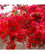 100 seed Red Bougainvillea Spectabilis flores Perennial - $6.90