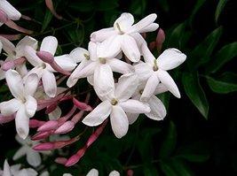 Starter Plant Jasminum Polyanthum Winter Jasmine - $21.77