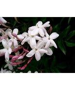 Starter Live Plant Jasminum Polyanthum Winter Jasmine Flower - $22.99