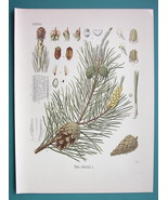 SCOTCH FIR Pinus Silvestris - Beautiful COLOR Botanical Print - $28.69