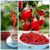 20Pcs Chinese Wolfberry Bonsai Seeds Chinese Herbal Medicine Organic Mat... - $2.16